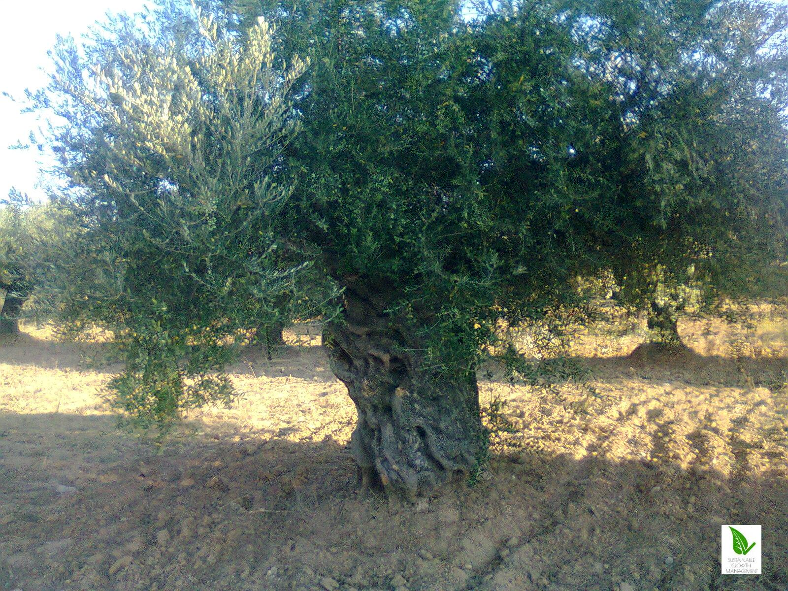 Koroneiki Olive Trees Sustainabl